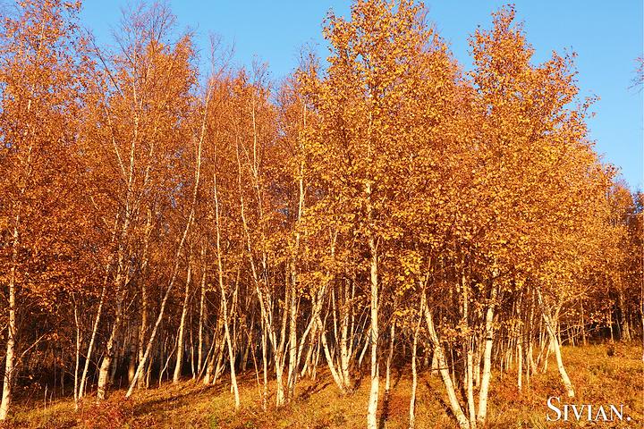 白银色的树杆,满眼金黄色的叶子,飘飞在树上,覆盖在地上,风景真是太美
