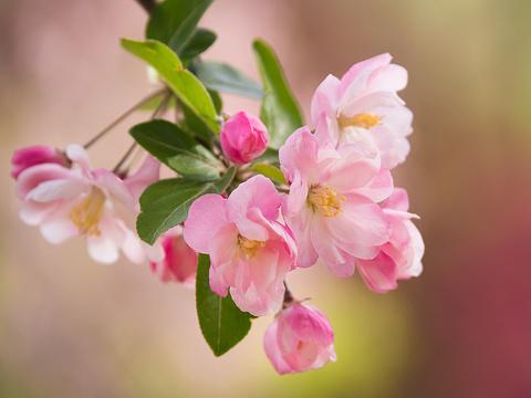 海棠花溪的图片