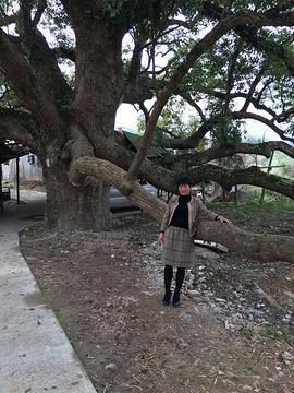 古樟林风景区的图片