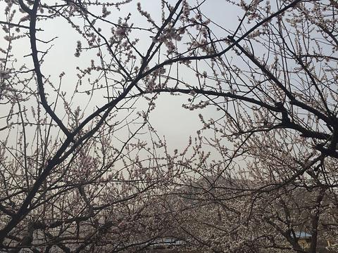 樱花广场的图片