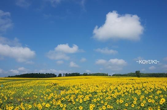 北龙町向日葵之乡旅游景点图片