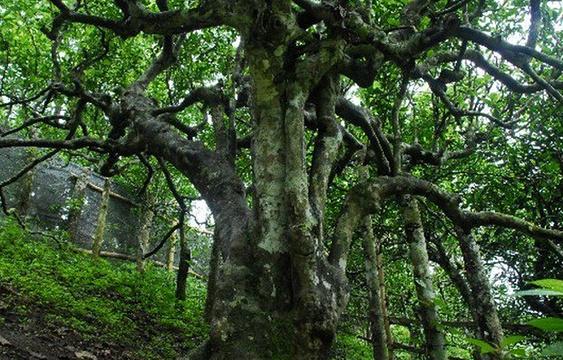 茶树王旅游景点图片