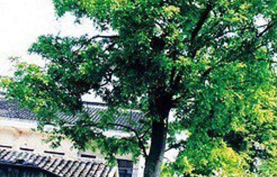 红豆树旅游景点图片