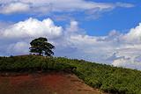 千年老龙树