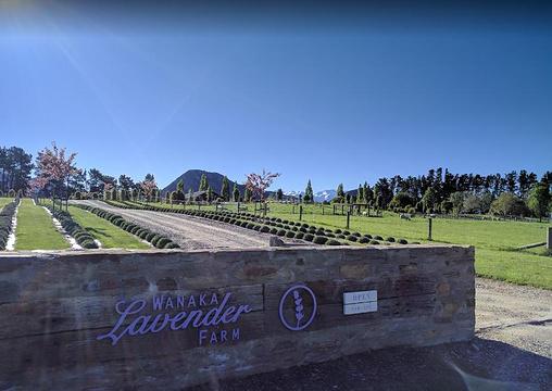 Wanaka薰衣草农场旅游景点图片