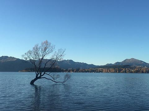 孤独的瓦纳卡之树的图片