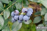 蓝裕有机蓝莓种植基地
