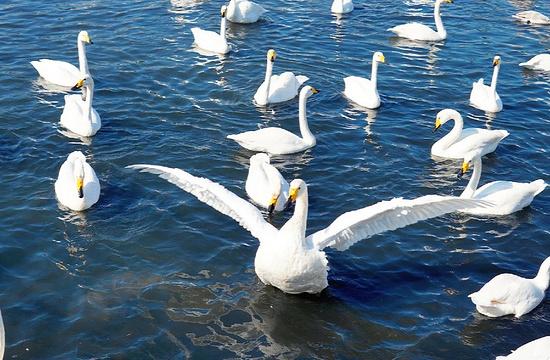 大天鹅国家自然保护区旅游景点图片