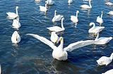大天鹅国家自然保护区