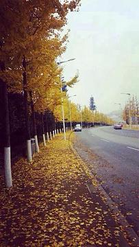 仙女山镇银杏大道的图片