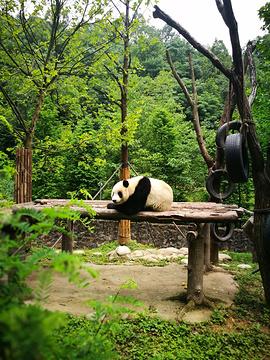 都江堰熊猫乐园景区的图片