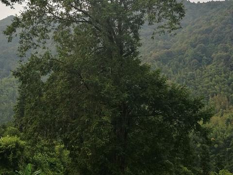 岑溪珍稀植物红豆杉旅游景点图片
