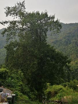 岑溪珍稀植物红豆杉