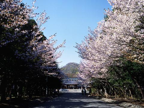 登别樱花道旅游景点图片