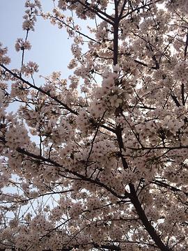 樱花大道的图片