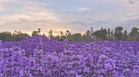 伊帕尔汗薰衣草观光园的图片