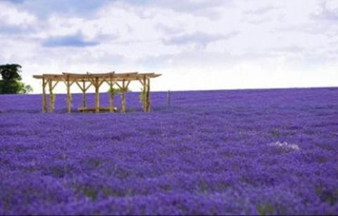紫海香田薰衣草庄园的图片