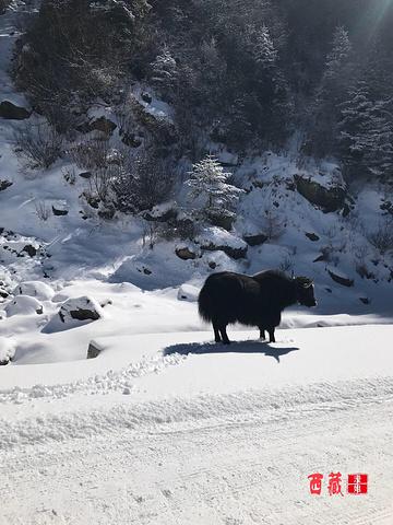 """""""牦牛悠闲的在雪地里散步着。到色季拉山顶的时候已是中午了。这一顿吃的又舒服又温暖,这顿算是年夜饭了吧_色季拉山""""的评论图片"""