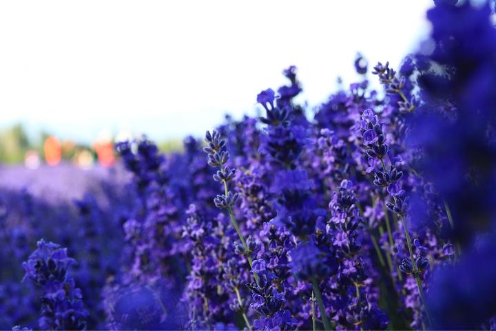 """""""...很高了,一进园子就闻到一阵阵扑鼻而来的薰衣草味道,还有看到一片满满的紫色,整个人简直兴奋得不行_解忧公主薰衣草庄园""""的评论图片"""