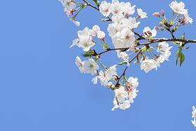 樱花遇上古色古香的临城故事 最美春光