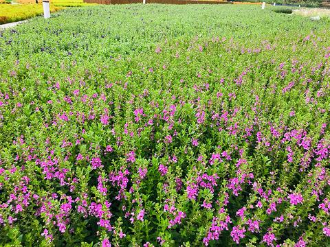 锦绣安仁花卉公园的图片