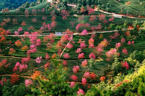无量山樱花谷旅游景点攻略图