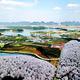 平坝农场樱花园
