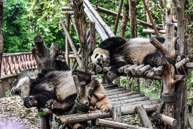 成都大熊猫繁育研究基地图片