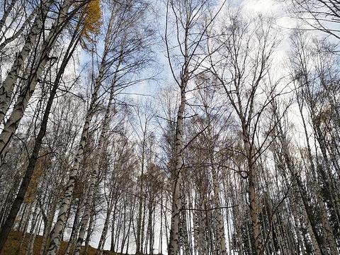 禾木白桦林旅游景点图片