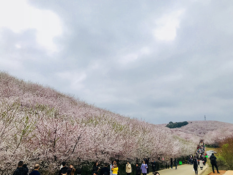 平坝农场樱花园旅游景点攻略图